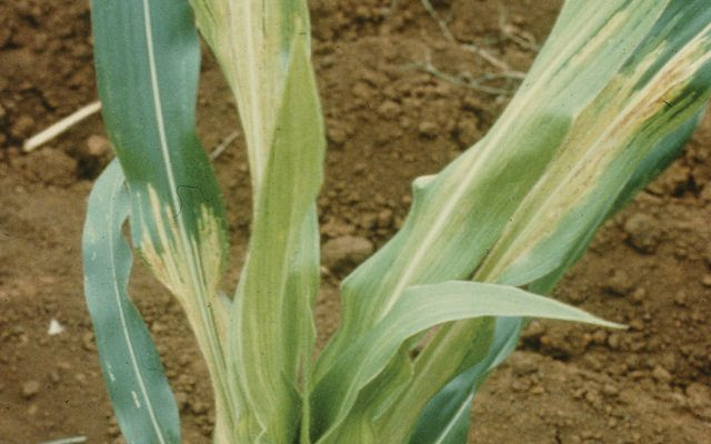 Maize plant with leaves showing chlorotic striping caused by Philippine downy mildew