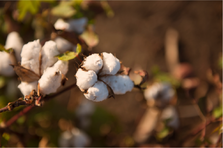Complete information on Cotton farming