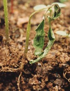 Damping off disease in chilli plant