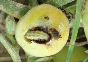 Fruit borer disease in tomato with its management and symptoms